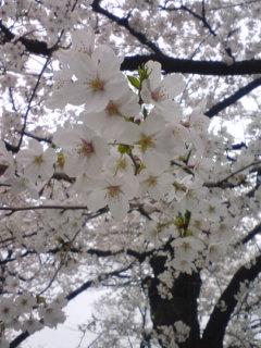 080330_洗足池 桜