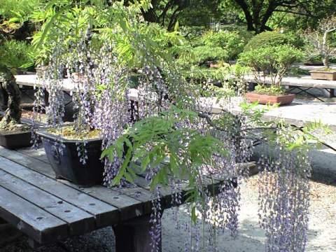 bonsai fuji