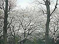 08..3.31千鳥ガ淵の桜