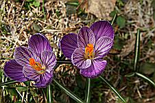 わが庭のクロッカス咲く
