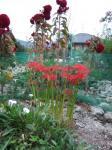 彼岸花と鶏頭草