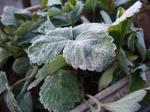 葉っぱに霜が!