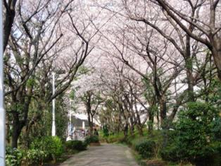 ルフロン桜