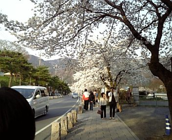 DVC桜1