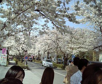 DVC桜2