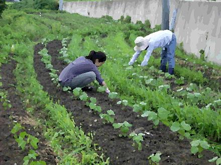 綿畑の草取りをする二人の農婦
