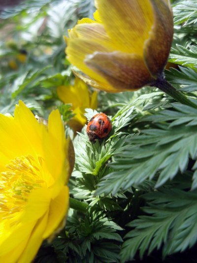 天道虫と福寿草