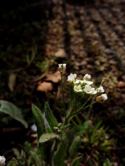 ペンペン草と影