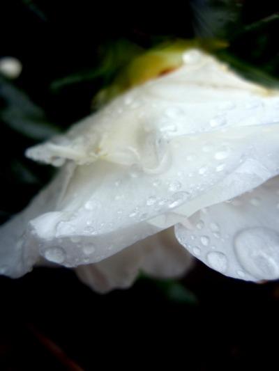 雨のつばき
