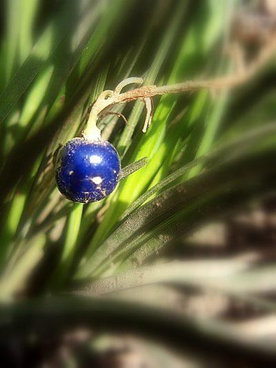 ジャノヒゲ_瑠璃色の宝石