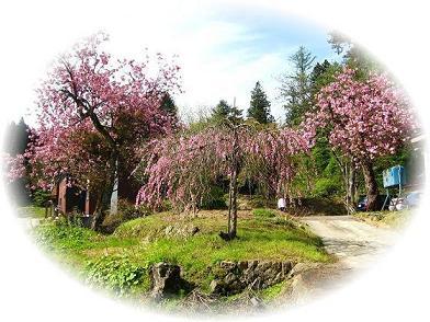20080508150854花見桜