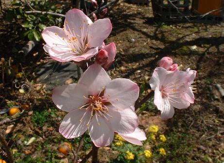 アーモンド花