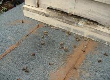 蜜蜂の死骸散乱