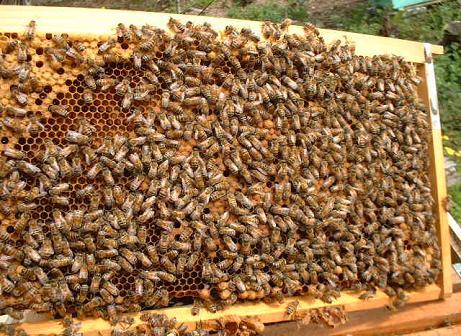 巣脾枠の蜜蜂
