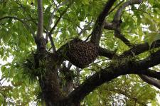 日本蜜蜂分蜂群