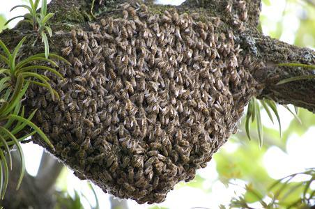 分蜂群拡大