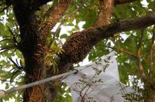 蜂収容(捕獲)