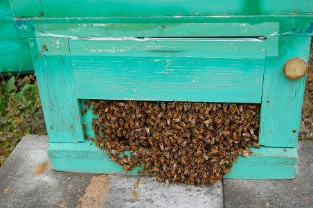 巣門ミツバチ