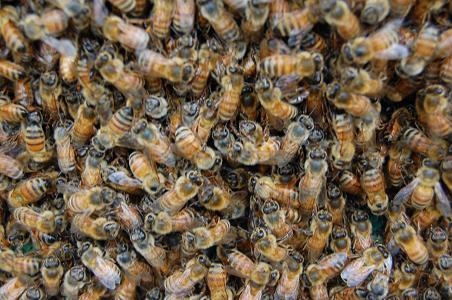 集合ミツバチ