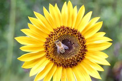 向日葵、ミツバチ