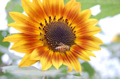 ひまわり、蜜蜂