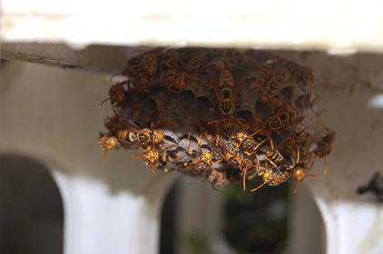 巣、アシナガバチ