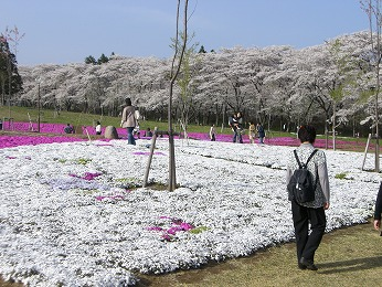 sibazakura.jpg