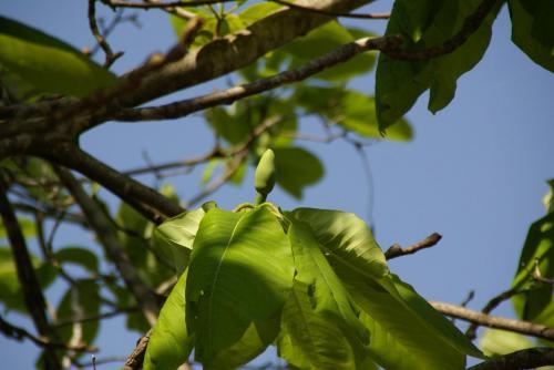ほうの木2