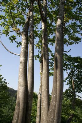 ほうの木7