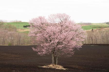 ひとり静か 桜