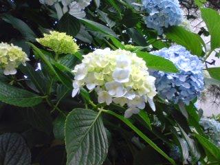 黄白い紫陽花
