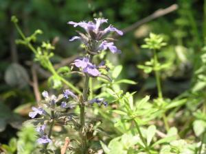 薄い紺の花