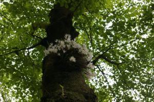 セッコクの花1