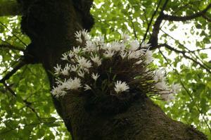 セッコクの花2