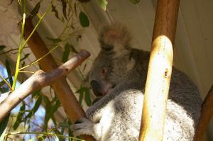 コアラですね