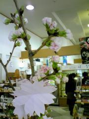 マディニー桜1