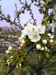 s-b-桜桃20