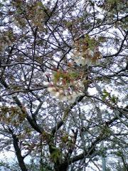 s-b-4.28桜