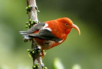 Iiwi Kauai  島の蜜すい鳥(ぜつめつきき)