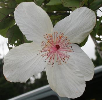 コケオケオケオハワイ固有のハイビスカス