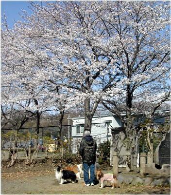 0sakura_20080403173442.jpg