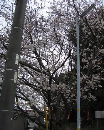 20080401桜
