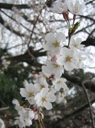 200804012桜