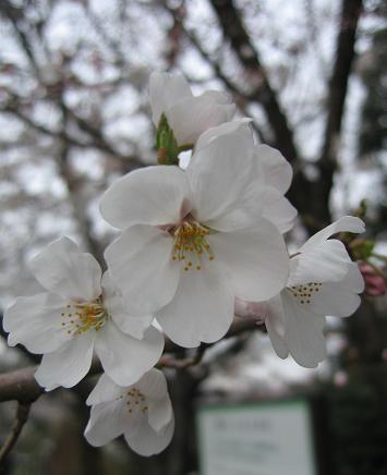 200804013桜