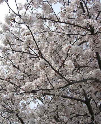 200804092お花見