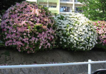 200805143つつじ祭り