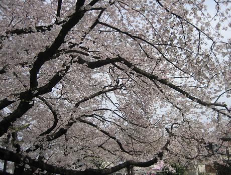 07桜-4月1日4