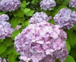 6月紫陽花3