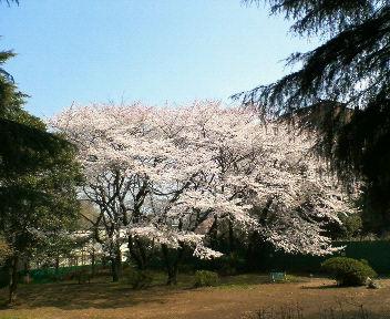 桜の木 2008