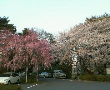 ぼかし桜色